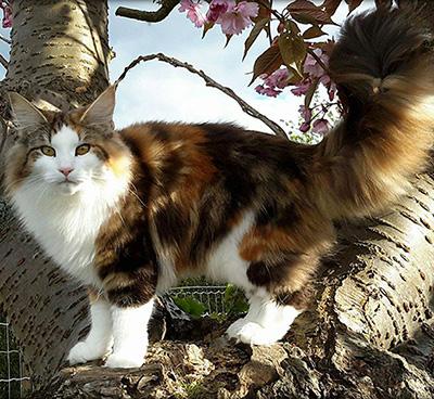 NW IC Toonscats SunShine JW